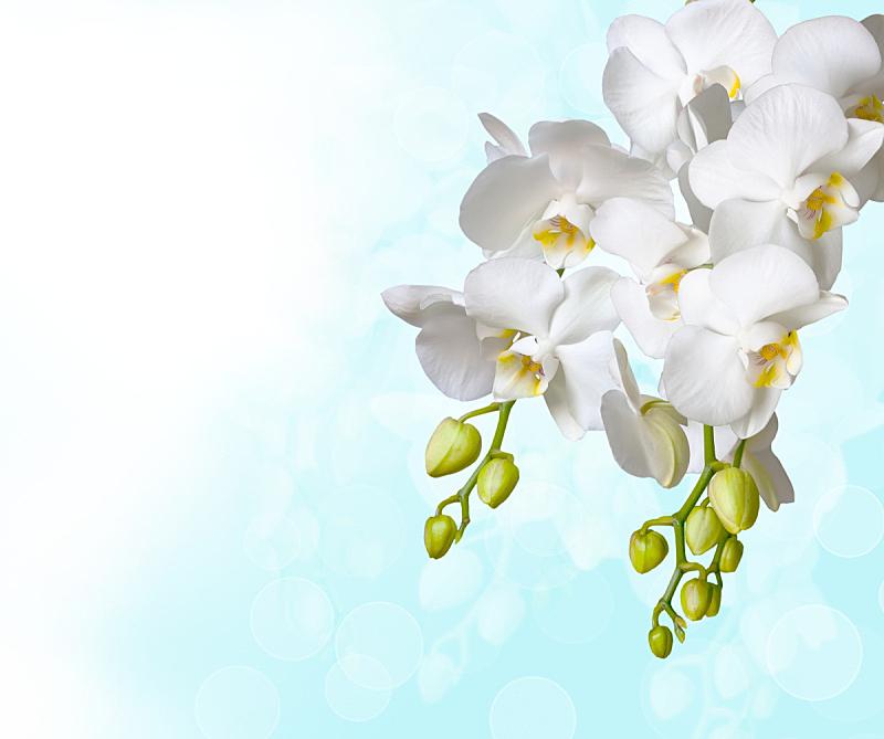 兰花,自然美,白色,蝴蝶兰,水平画幅,特写,植物,热带气候,枝,植物学