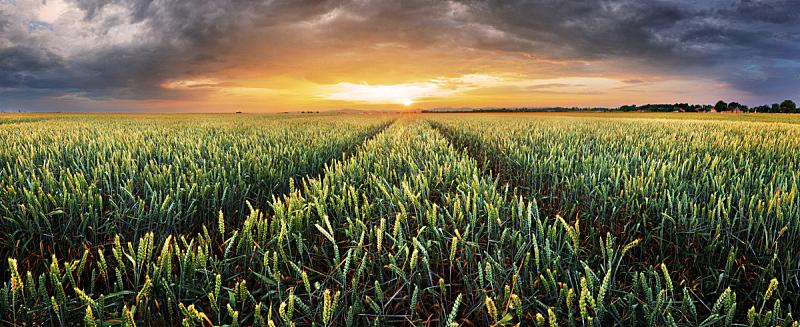 田地,地形,全景,小麦,农业,天空,美,暴风雨,水平画幅,云