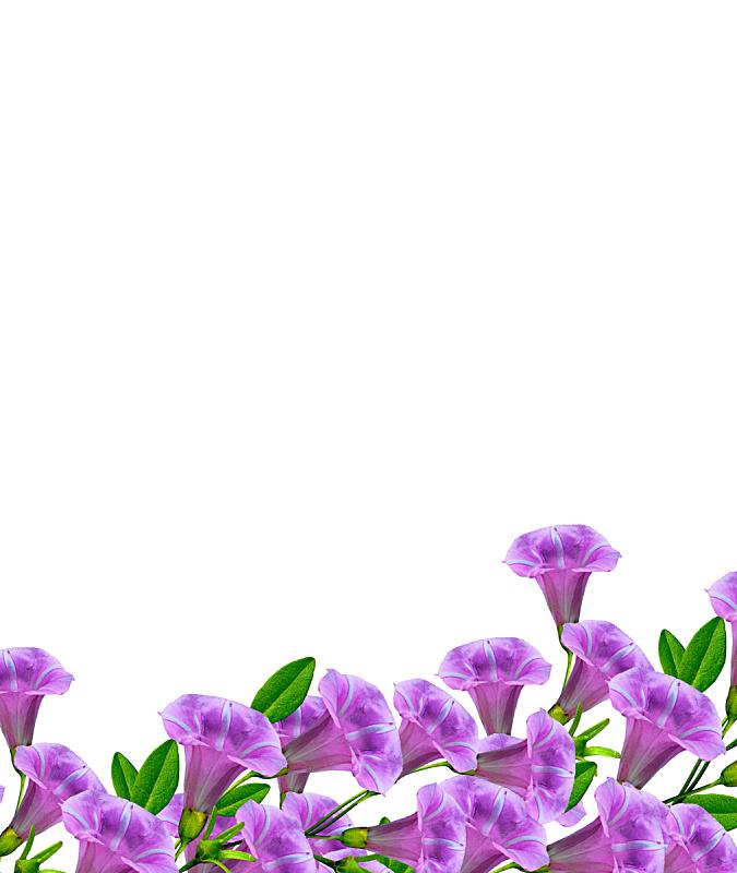 矮牵牛花,白色背景,分离着色,垂直画幅,草坪,夏天,草,自然界的状态,石生风铃草,花头