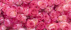 玫瑰,粉色,脆弱,贺卡,浪漫,复古风格,柔和色,春天,植物,背景