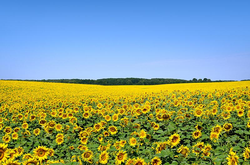 天空,向日葵,田地,黄色,海洋,水平画幅,云,无人,夏天,户外