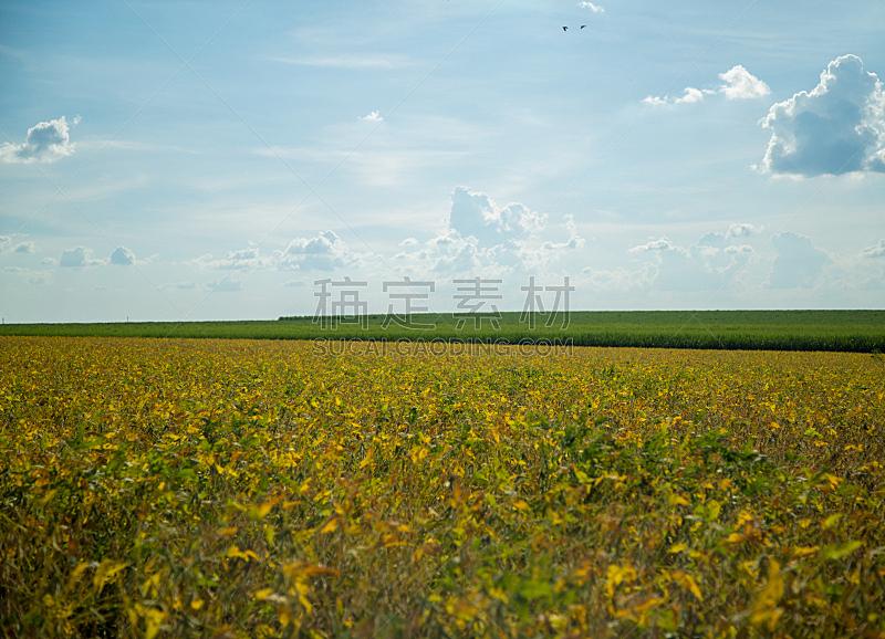 大豆,种植园,天空,水平画幅,无人,夏天,户外,豆,农作物,田地