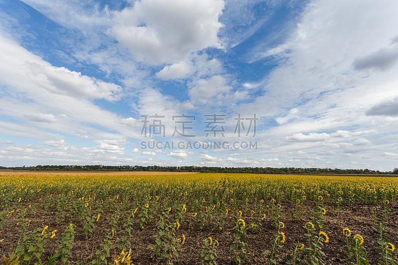 天空,田地,蓝色,向日葵,在下面,水平画幅,无人,夏天,户外,特写