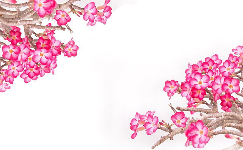 黑斑羚,百合花,热带的花,沙漠玫瑰,自然,美,水平画幅,玫瑰,自然美,杜鹃花