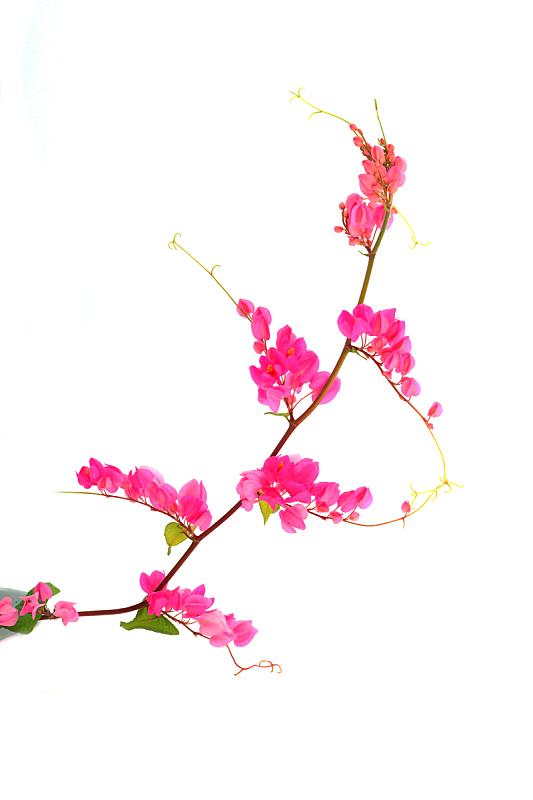 粉色,珊瑚,仅一朵花,有蔓植物,攀缘植物,白色背景,自然,垂直画幅,芳香的,无人