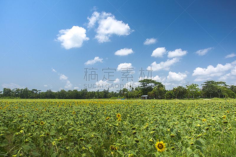 向日葵,田地,孟加拉,天空,水平画幅,夏天,特写,植物,看,经济