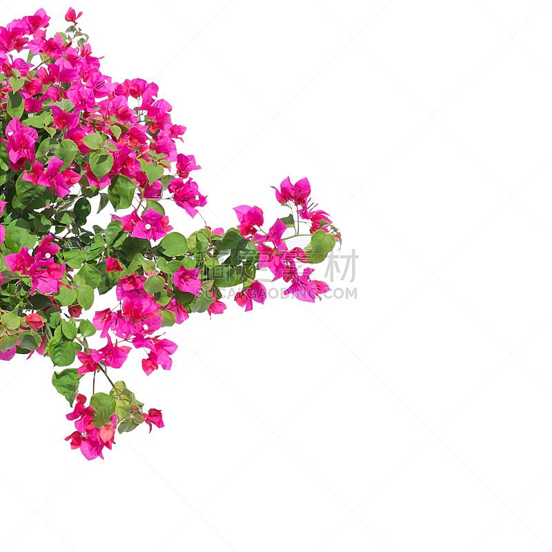 三角梅,粉色,白色背景,分离着色,自然,气候,无人,夏天,背景分离,方形画幅