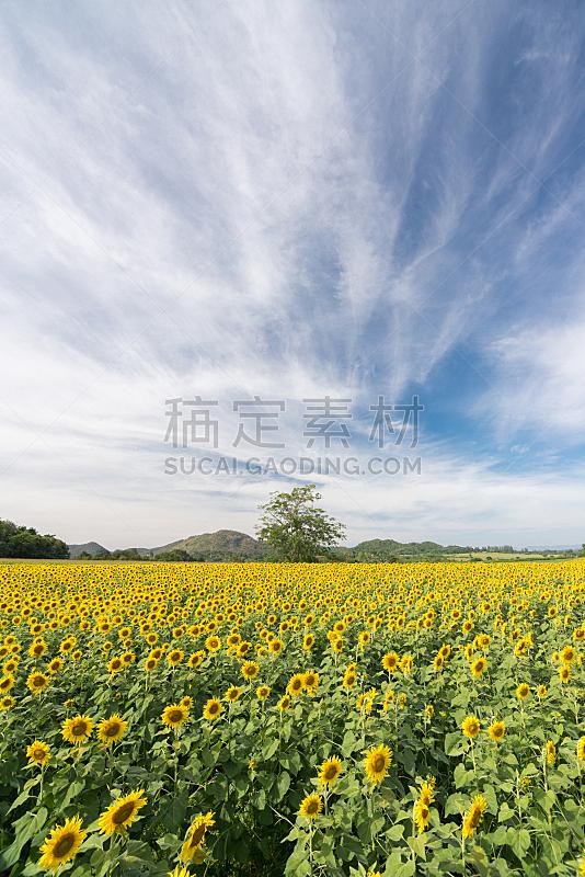 田地,向日葵,垂直画幅,天空,无人,夏天,户外,植物,农业,季节