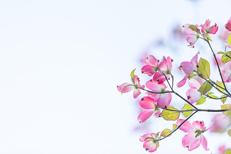 山茱萸,清新,开花的山茱萸,自然美,春天,植物,背景,花,生长