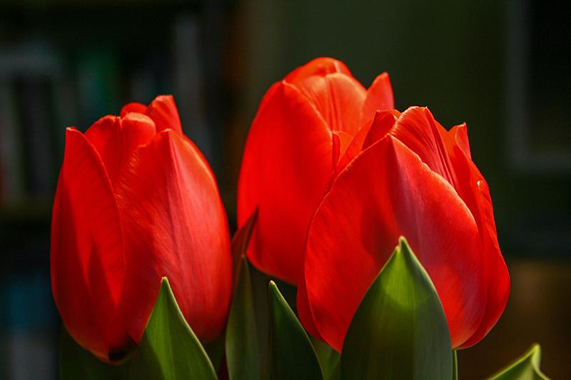 郁金香,红色,大特写,背景分离,浪漫,情人节卡,色彩鲜艳,春天,植物,背景