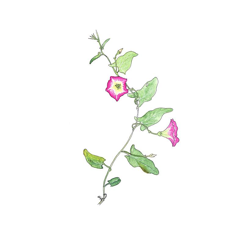 草图,旋花植物,植物学,旋花属植物,水彩画,早晨,宏伟,纸牌,水彩画颜料,菜园