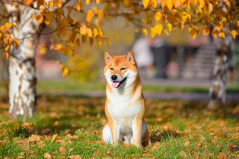 日本柴犬,狗,秋天,纯种犬,注视镜头,公园,可爱的,红色,肖像,图像