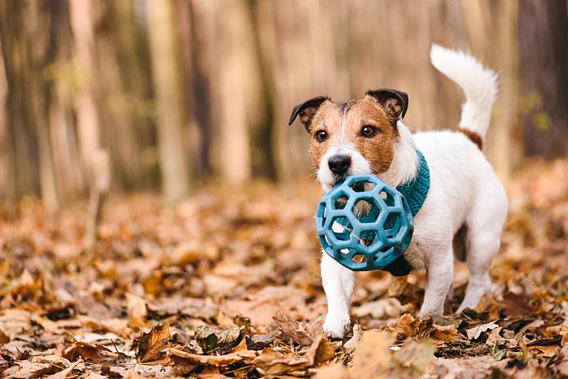 球,玩具,狗,宠物,秋天,橡胶,森林,进行中,活力,可爱的