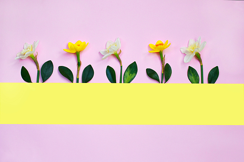 极简构图,概念,水仙花,创造力,留白,春天,节日,粉色背景,花,构图