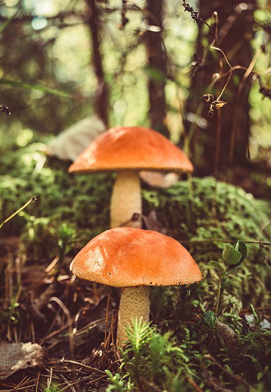 红色,秋天,苔藓,巨大的,蘑菇,森林,雪山,帽子,生长,采摘