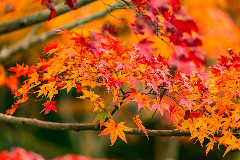 季节,秋天,红色,风景,彩色图片,日本,京都府,叶子,地形,自然美