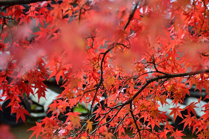 枫树,红色,自然,京都府,旅游目的地,水平画幅,秋天,无人,摄影