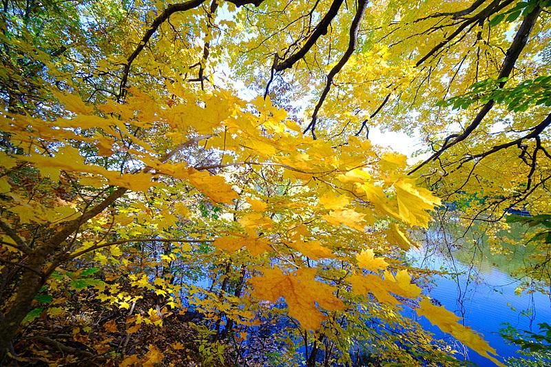 黄金,秋天,美国,叶子,派克大街,自然美,树