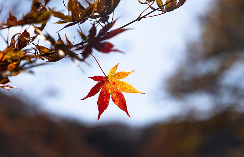 枫树,秋天,叶子,枫叶,植物,背景,户外,天空,日本,自然