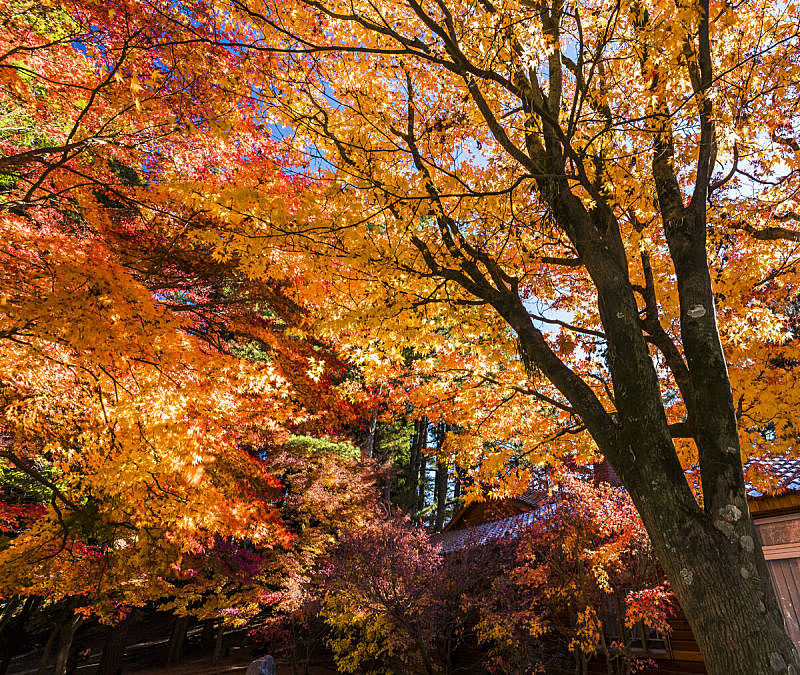 枫树,亚洲,红色,秋天,风景,叶子,彩色图片,俄亥俄河