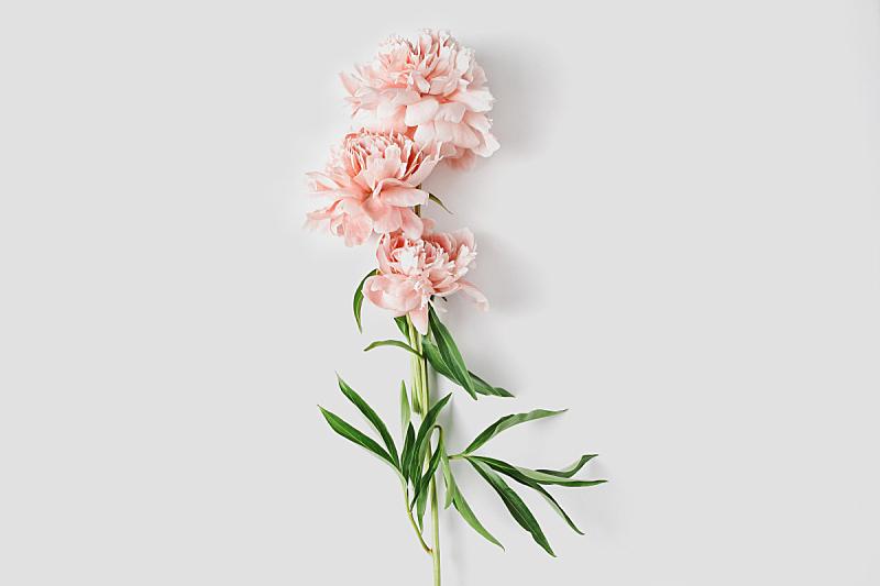 牡丹,艺术,概念,平铺,极简构图,清新,周年纪念,请柬,花,构图