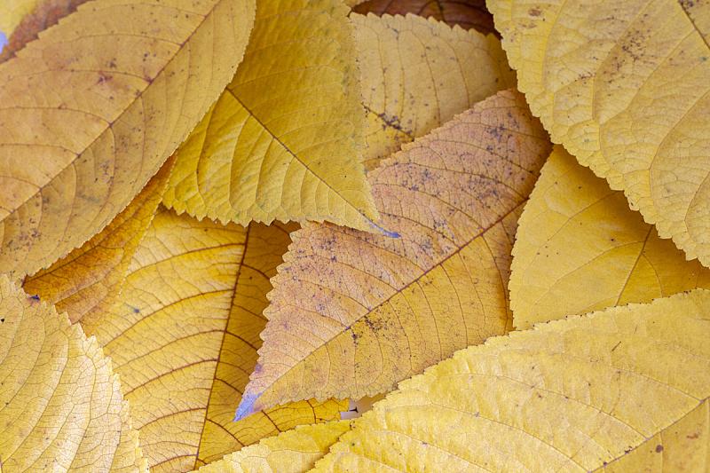 叶子,秋天,黄色,特写,十月,匈牙利,死的,晴朗,自然,摄影