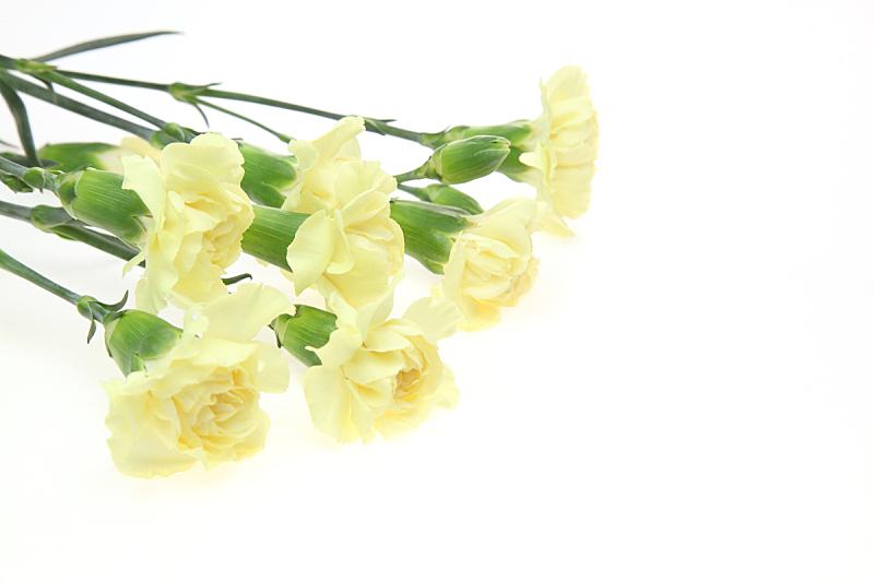 白色背景,康乃馨,花束,自然,奶油色,黄色,背景分离,母亲节,图像,色彩鲜艳