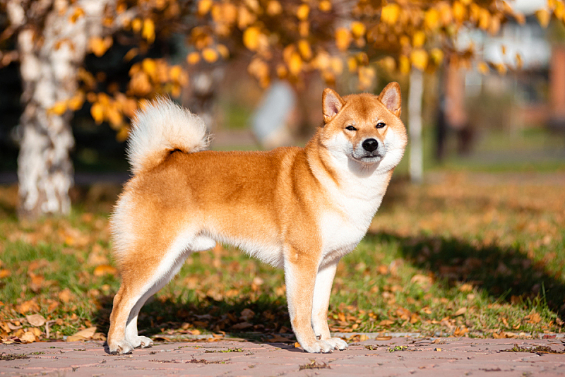 日本柴犬,狗,秋天,公园,注视镜头,纯种犬,可爱的,红色,肖像,图像