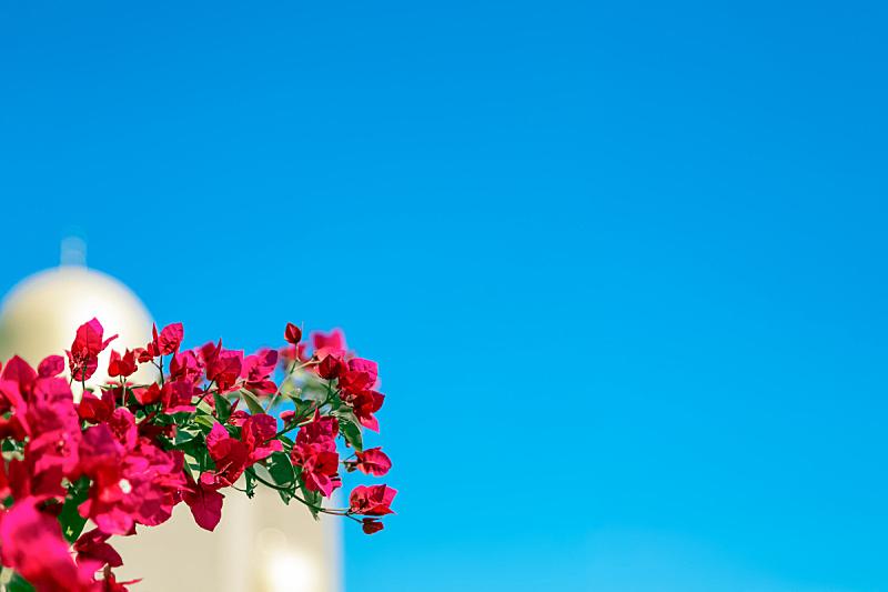 紫色,沙特阿拉伯,自然美,前面,清真寺,花